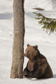 A black bear brown grizzly in the snow background — Stockfoto
