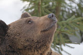A black bear brown grizzly in the snow background — Stock Photo
