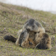Stock Photo: Two Marmot while playing