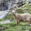 Stock Photo: Ibex longhorn sheep deer