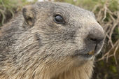 Retrato de marmota — Fotografia Stock