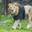 Stock Photo: Male asiatic lion