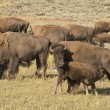 Stock Photo: Buffalo Bison in Yellowstone