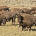 Buffalo bison i yellowstone — Stockfoto