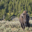 Buffalo bison in yellowstone — Stockfoto
