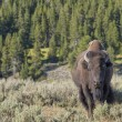 Stockfoto: Buffalo Bison in Yellowstone
