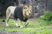 Male asiatic lion — Stock Photo