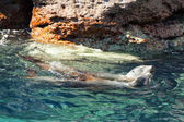 Sea lion seals relaxing in baja california — Foto Stock