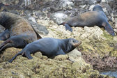 Sea lion seals relaxing in baja california — Stok fotoğraf
