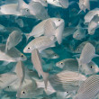 Постер, плакат: Inside a school of fish underwater