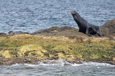 Californian sea lion seal relaxing on a rock — Stock fotografie