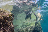 Californian sea lion seal underwater — Stock Photo