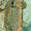 Stock Photo: Harlequin filefish