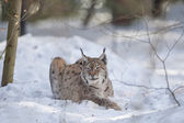 Lynx in the snow while hunting — Stock Photo