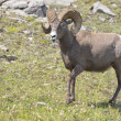 Big Horn Sheep portrait — Stock Photo #37835769