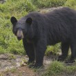 Stock Photo: Black bear while eating