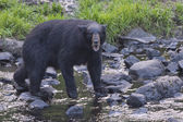 A black bear while comig to you — Stockfoto