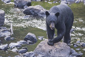 A black bear while comig to you — Stok fotoğraf