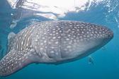 Whale Shark close up underwater portrait — Stock Photo