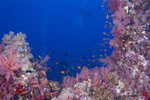 Scuba divers on reef and blue sea background — Stock Photo