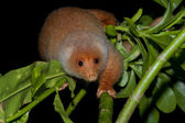 Cuscus indonesian endemic monkey — Stock Photo