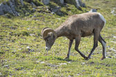 Big Horn Sheep portrait — Stock Photo