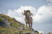 Big Horn Sheep portrait — Stock Photo