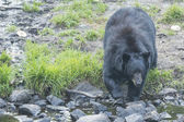 A black bear while comig to you — Foto Stock
