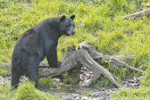 A black bear while eating — Stok fotoğraf