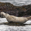 A seal while relaxing on a rock — Stock Photo #38306419
