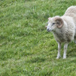 Big white ram sheep — Stock Photo #38306729