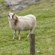 Female white ram sheep — Stock Photo #38306773