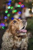 A santa dressed puppy dog christmas xmas — Zdjęcie stockowe