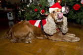 A santa dressed puppy dog christmas xmas — Stock Photo