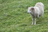 Big white ram sheep — Stock Photo