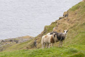 Two Rams in faer oer island — Stock Photo