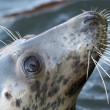 Grey seal portrait — Stock Photo #38552443