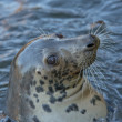 Grey seal portrait — Stock Photo #38552453