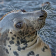 Grey seal portrait — Stock Photo #38552455