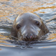 Grey seal portrait — Stock Photo #38552475