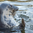Grey seal portrait — Stock Photo #38552567