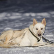 Stock Photo: Sledding in lapland