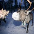 Stock Photo: Reindeer portrait in winter snow time