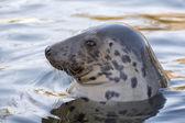 Grey seal portrait — 图库照片