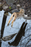 Lynx while jumping — Stock Photo