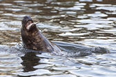 Grey seal portrait while eating — Stock Photo