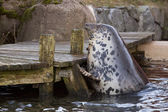 Grey seal portrait — Foto Stock