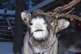 Reindeer portrait in winter snow time — Stock Photo