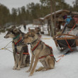 Stock Photo: Sledding with sled dog in lapland in winter time