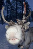 Reindeer portrait in winter snow time — Stock Photo